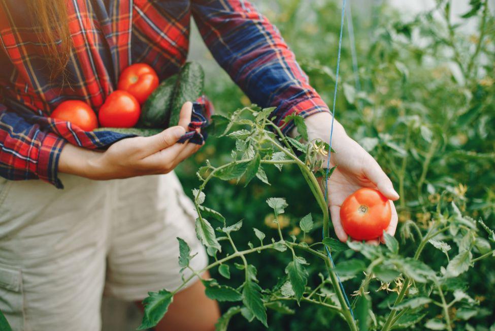 המדריך לגידול עגבניות