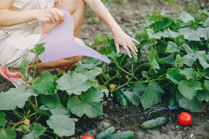 איך מגדלים מלפפון בבית