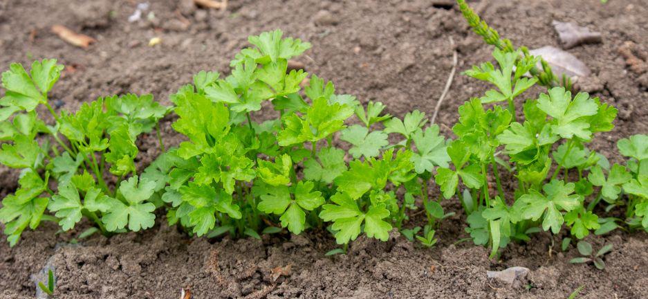 איך לגדל כוסברה בגינה בבית
