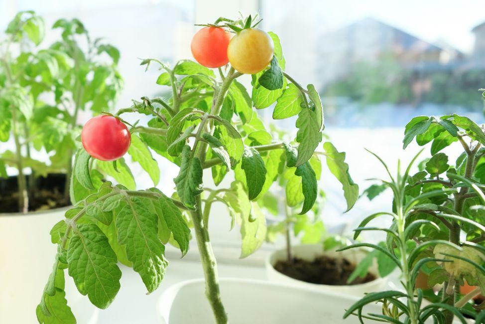 איך לגדל עגבניות שרי באדנית