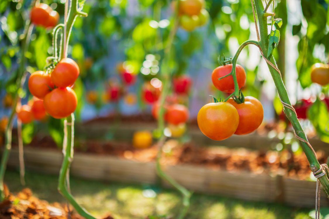 איך לגדל עגבניות שרי