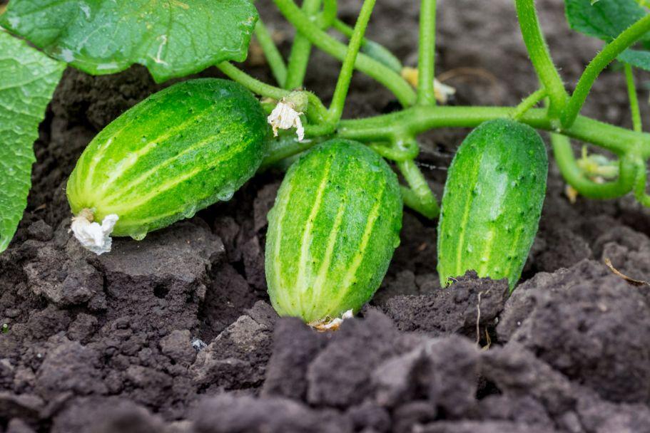 איך לגדל מלפפון בגינה
