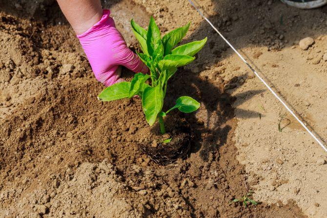 איך לגדל פלפל מתוק בעציץ