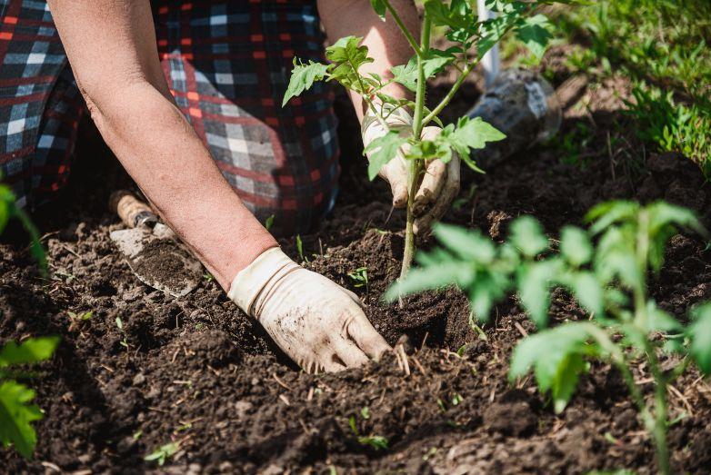 איך לשתול עגבניות בגינה בבית