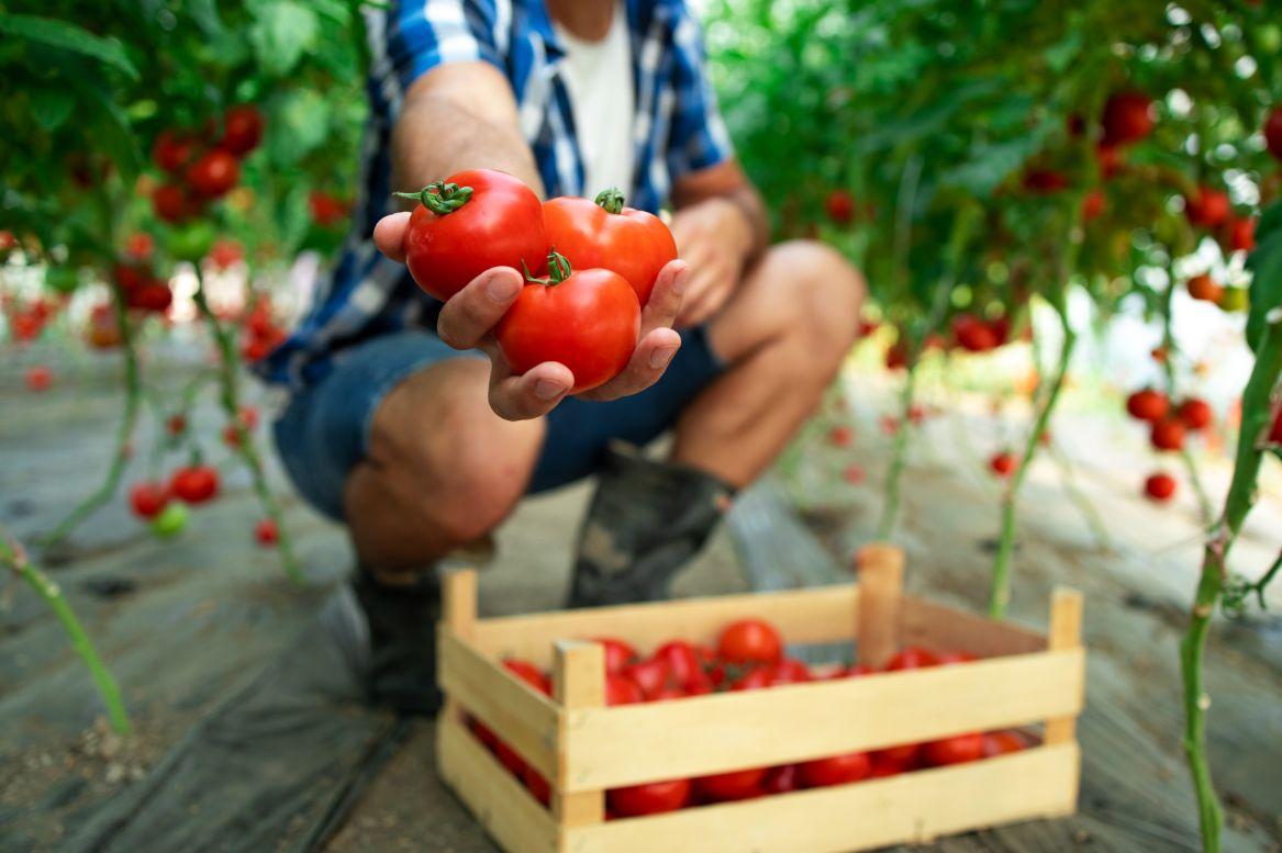 איך מגדלים עגבניות