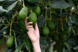 טיפים לגידול עץ אבוקדו בגינה בבית
