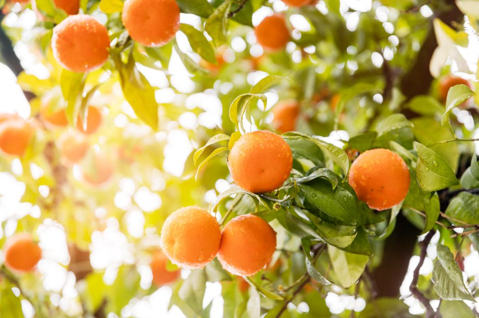 הרכבת עצי פרי הדר