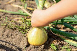 איך שותלים ומגדלים בצל בגינה בבית