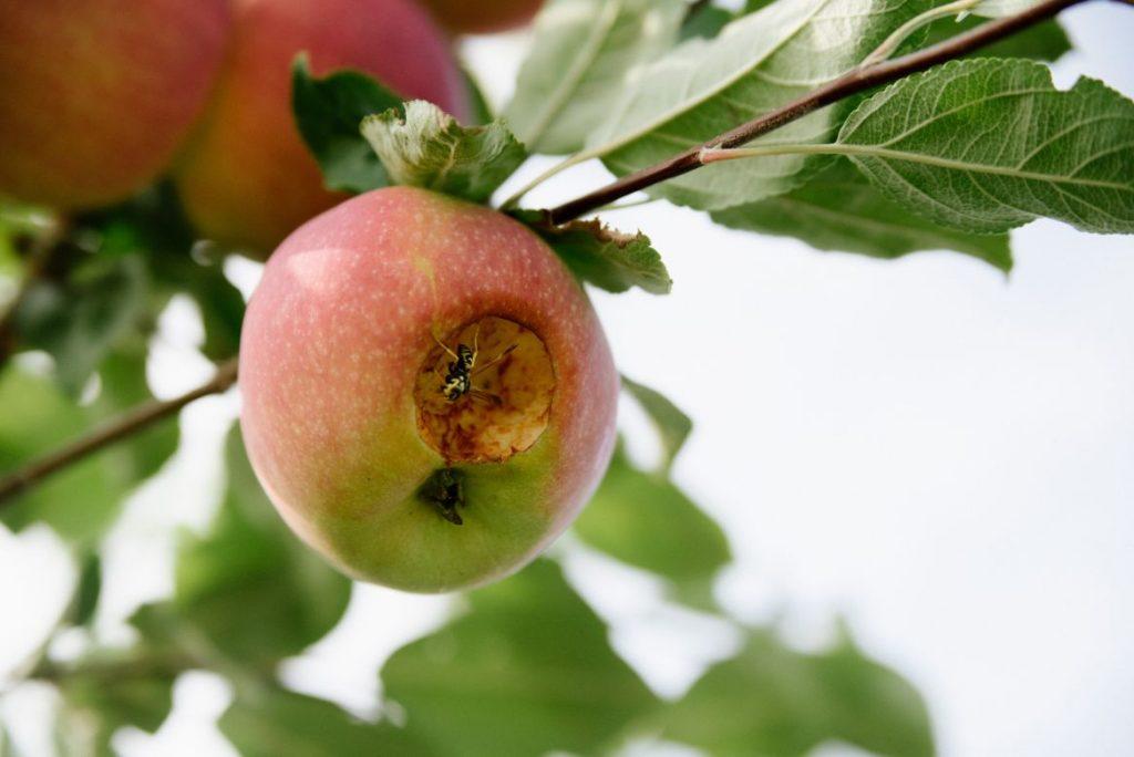 פרי רקוב על עץ שזקוק להרכבה