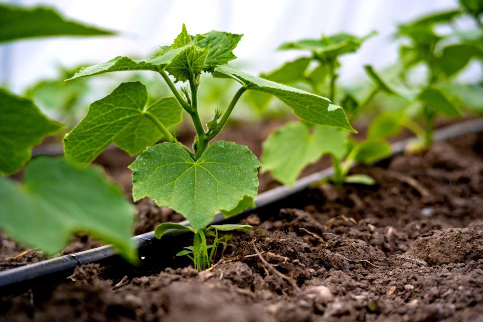 מערכת השקיה לגינה עם דישון