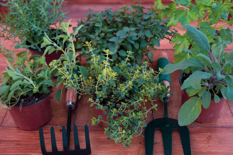 צמחי תבלין לגינה