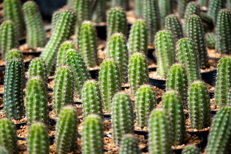 סוגי קקטוסים לגינה